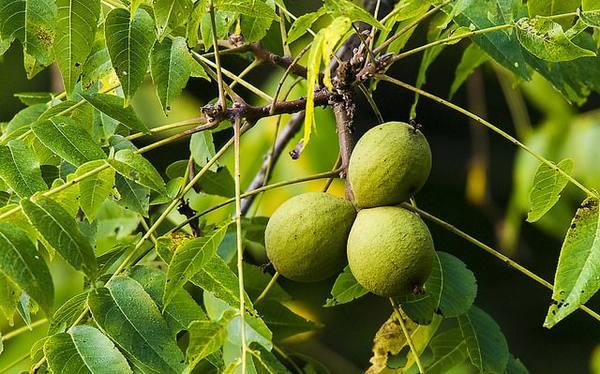 Черный орех посадка и уход в открытом грунте
