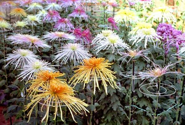 Хризантемы корейские посадка и уход в открытом грунте