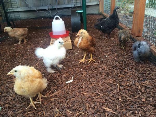 Цыпленок падает на ноги как лечить 56