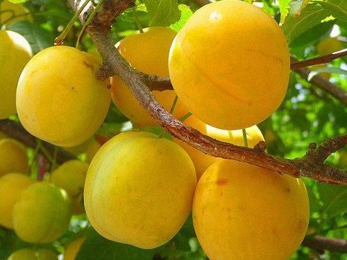 Общие особенности видов жёлтой сливы