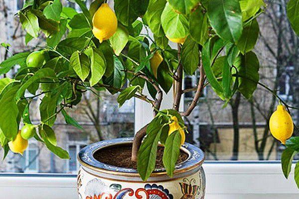 Выращивание лимона в открытом грунте 35